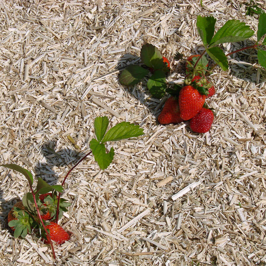 fraise-chanvre